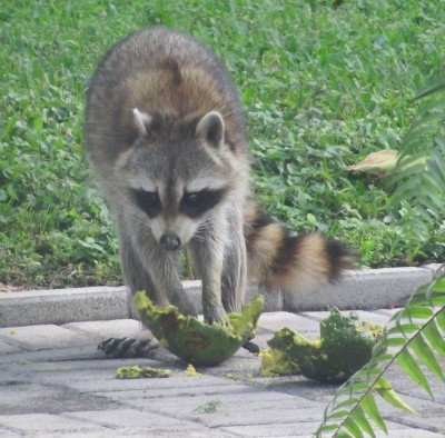 Raccoon eating avocado
