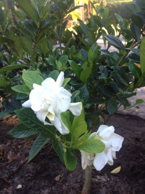 You can do it little gardenia!  Keep on growing! PLEASE! DON'T LEAVE ME!
